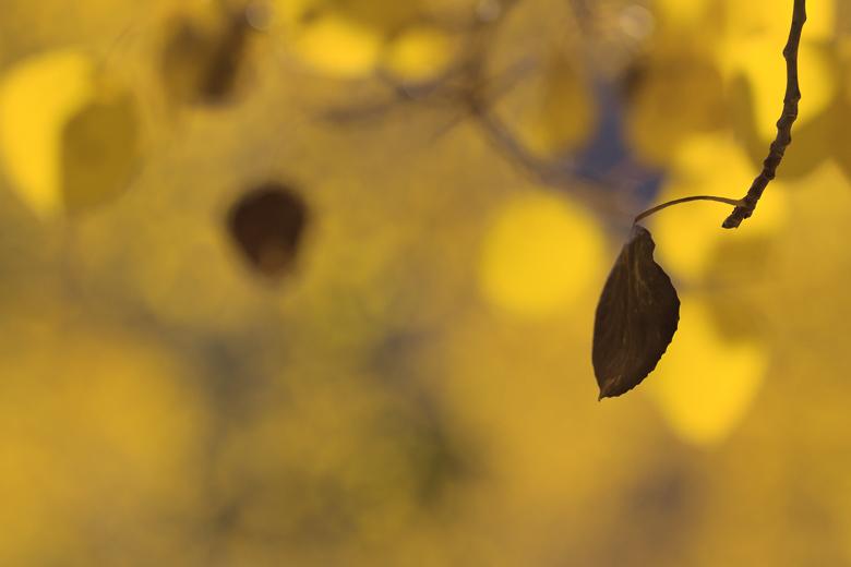 Aspen Leaf Bokeh