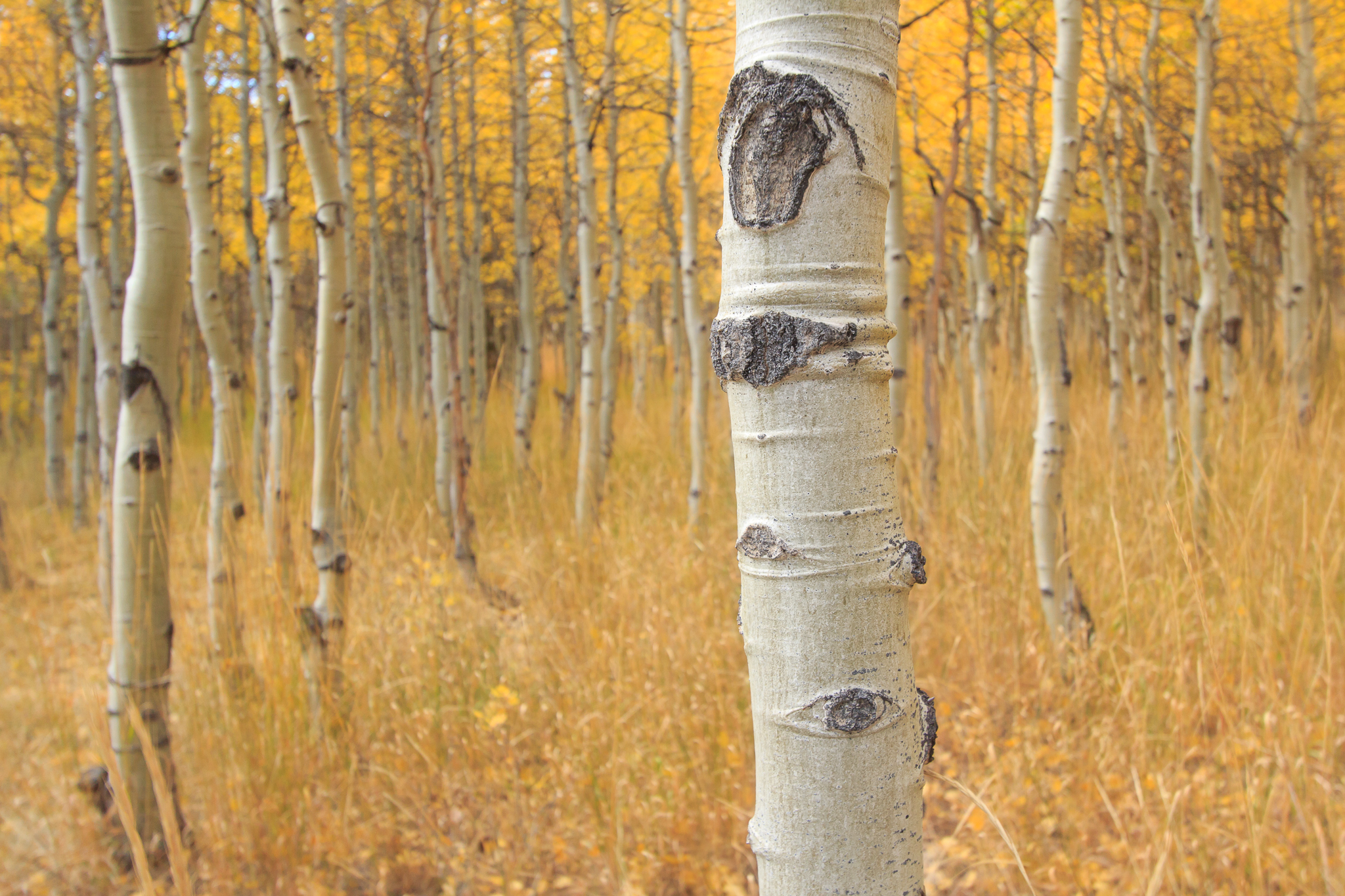 grove of young Aspens