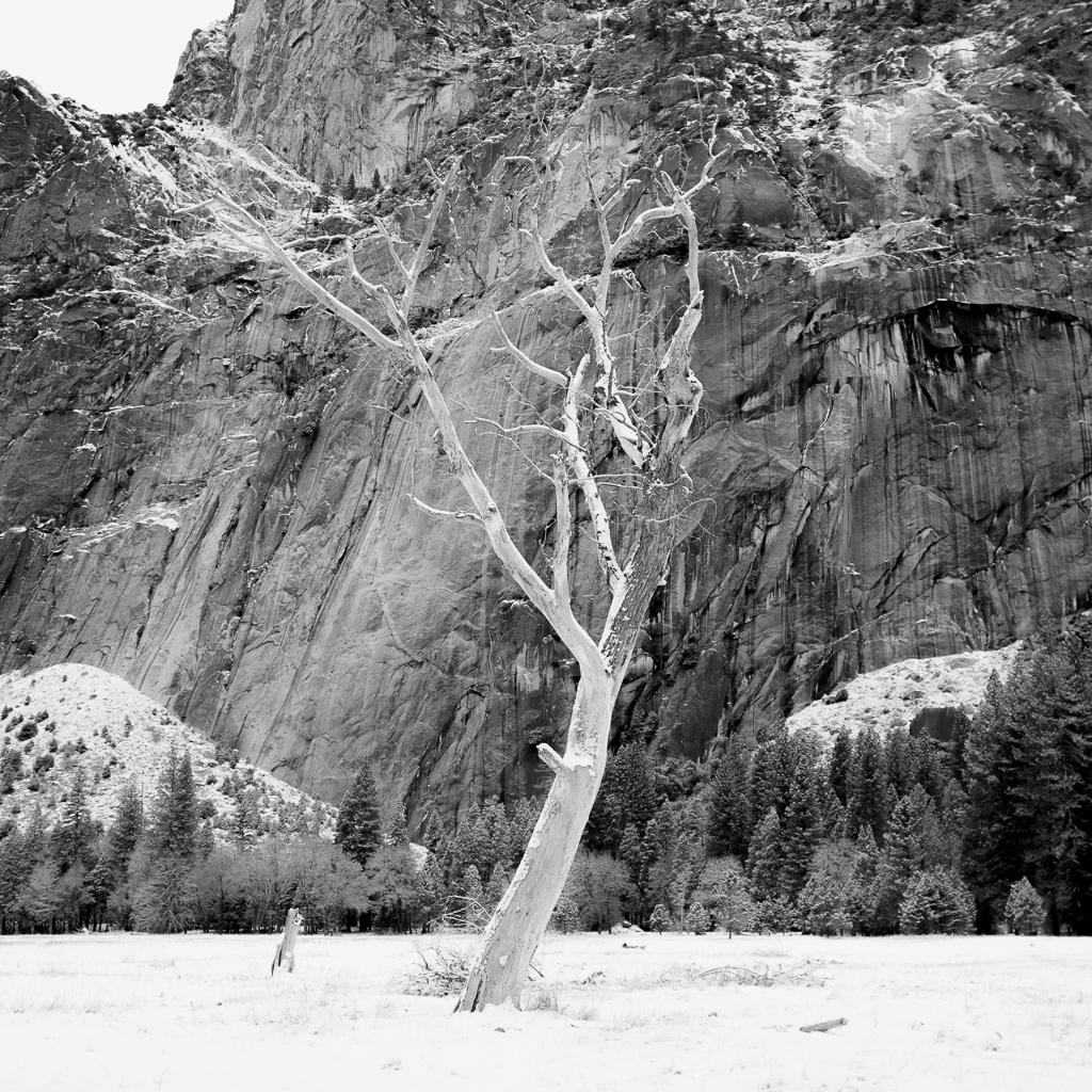 Snowy Snag, Yosemite NP