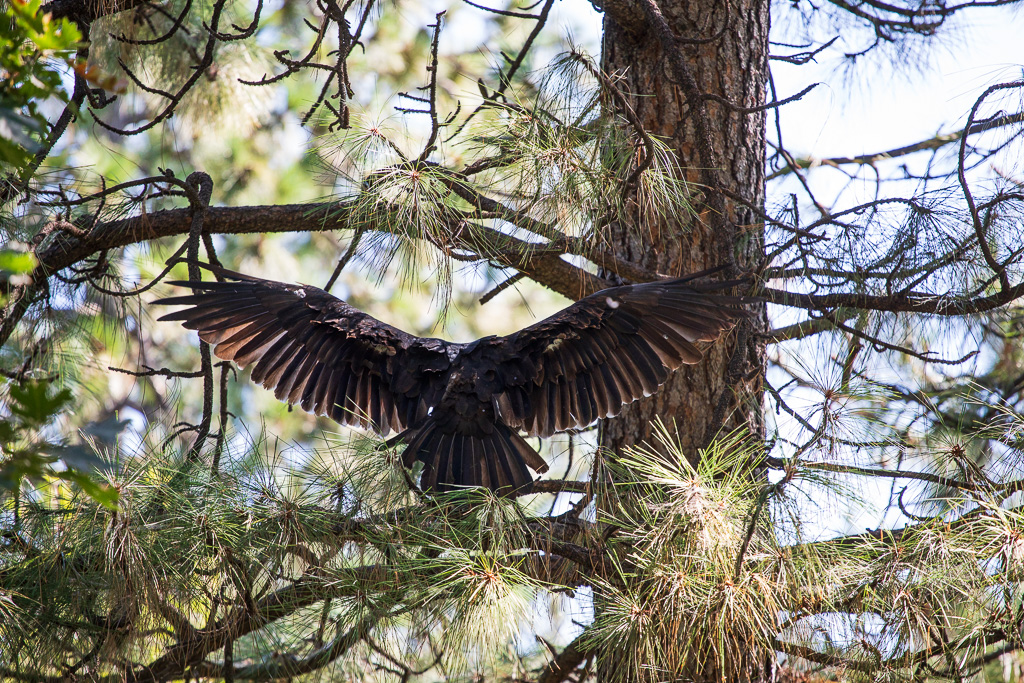 Turkey Vulture | Cathartes aura