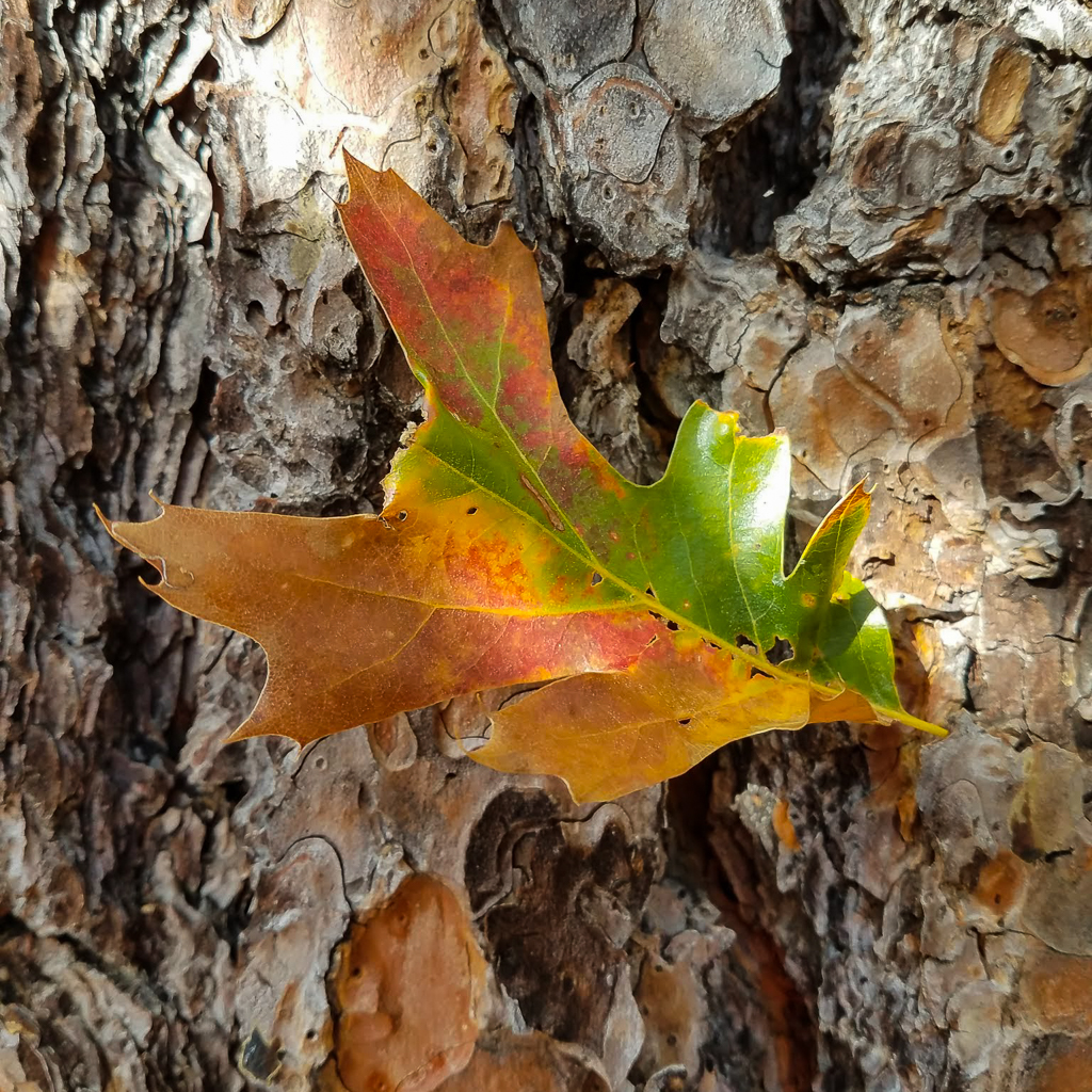 Black Oak Leaf, Quercus kelloggii, fall, ponderosa pine, bark, trunk, fall, autumn