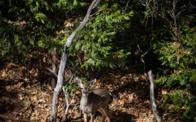 Inquisitive Deer