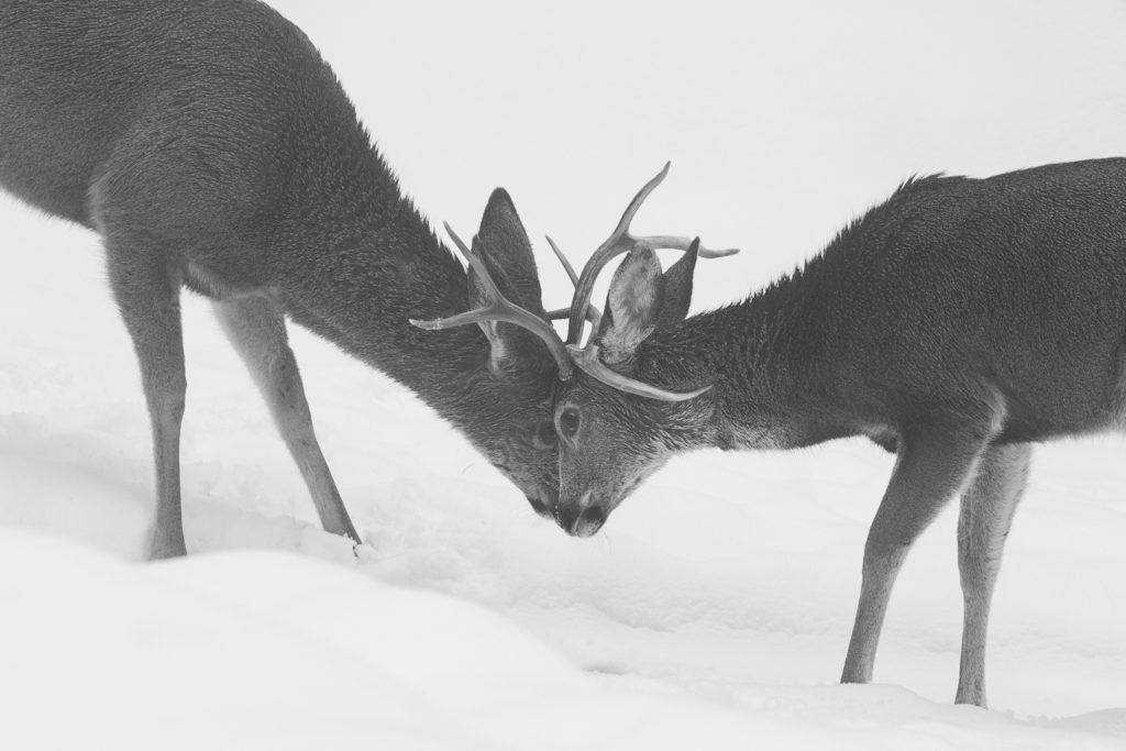 Mule Deer, Buck, Winter, Snow, Sierra Nevada, Antler