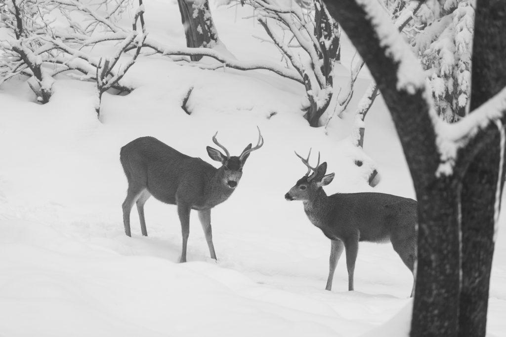 Mule Deer, Buck, Winter, Snow, Sierra Nevada, Antler, EMHahn Photography