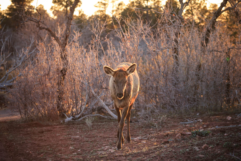 Elk Cow facing the camera at sunset in the Grand Canyon National Park