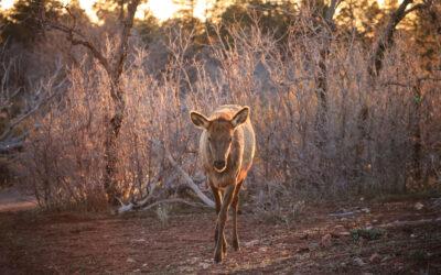 2015 Flashback #2 – Grand Canyon Elk