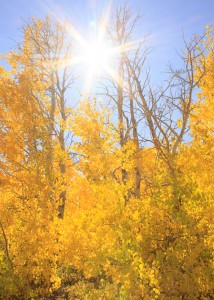 Eastern Sierra Nevada, Aspens, Fall, Autumn