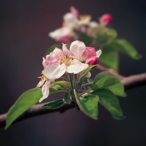 EasterAppleBlossom